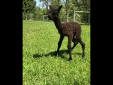 Newborn Alpaca Takes Her Wobbly First Steps Outdoors