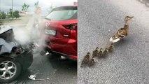 Une famille de canards provoque un accident de la route