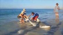 Des touristes sauvent un requin tigre échoué sur la plage