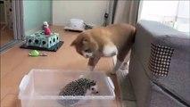 Ce chat a vite regretté d'avoir voulu s'en prendre à un hérisson