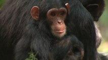 Los chimpancés pierden diversidad cultural por la actividad humana