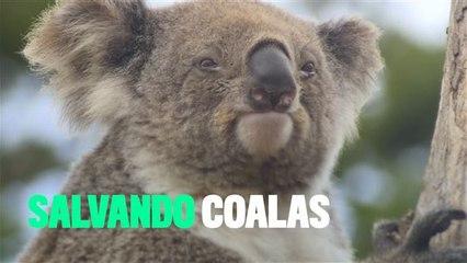 Os coalas estão desaparecendo