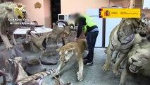 Intervenidas más de 200 piezas disecadas de especies protegidas