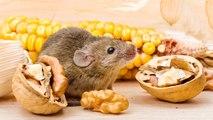 ¿Son buenos frutos secos para los roedores?
