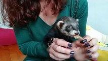 Ce bébé furet se nourrit avec gourmandise. Trop mimi !