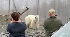 Affamé, un ours polaire est repéré dans une ville de Russie, à plus de 800 km de son habitat