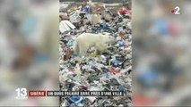 Sibérie : un ours polaire se perd dans une ville