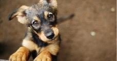 Des chercheurs ont percé le secret derrière le regard si mignon des chiens