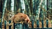 Fuchskatze: Alles, was ihr über diese neue Rasse wissen müsst