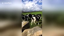 'Tucker no!' Irish woman hilariously freaks out as her dog chases herd of cows
