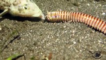 Cet animal cauchemardesque avale un poisson vivant : ver Bobbit Worm!!!!