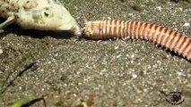Cet animal cauchemardesque avale un poisson vivant : ver Bobbit Worm!!!!