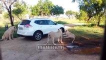 Une lionne ouvre la portiere d'une voiture en plein safari... Grosse frayeur