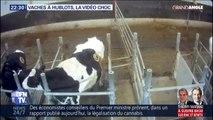 GRAND ANGLE - Vaches à hublot: la vidéo de L214 choque