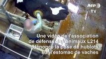 L214 porte plainte contre la pose de hublots sur des vaches