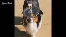Pup some bubbly: Adorable dog expertly serves champagne