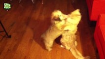 Cats and Puppies  Funny Cats Reactions Meeting Puppies For The First Time (Full) [Epic Laughs]