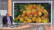 Les cueilleurs d'oranges sont de retour