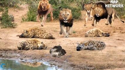 King Lion Vs Hyena 2019