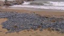 El viento y las corrientes marinas llevan a miles de medusas a las playas de Barcelona
