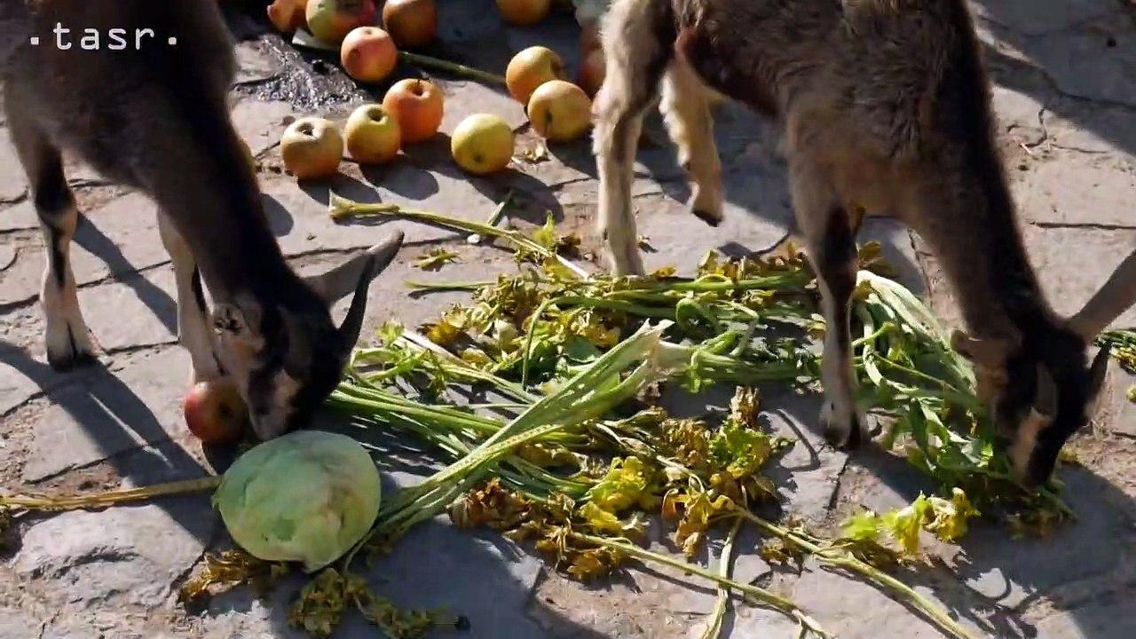 NITRA: Kŕmenie zvierat na hospodárskom dvore