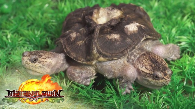 Kim Atienza gives a trivia about common snapping turtle | Matanglawin