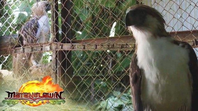 Philippine Eagle | Matanglawin