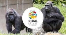 Deux gorilles du zoo de Beauval vont être réintroduits dans la nature au Gabon