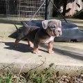 Admirez la beauté de ce bébé bulldog. Magnifique !
