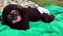 Ce bébé singe est trop paresseux. Regardez ce qu'il fait !