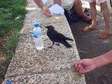 Ce corbeau très intelligent demande à boire
