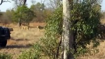 buffalo herd vs pride of lions الجاموس قطيع مقابل من الأسود