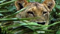 Lioness hunt buffalos لبؤة يصطاد جاموس