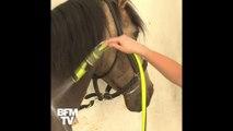 À Chantilly, des soins spécifiques pour les chevaux pendant la canicule