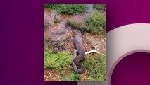 Australie : un python géant dévore un crocodile, les images sont choquantes
