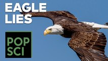 The Truth About Bald Eagles