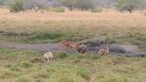 L'approche furtive d'un lion en pleine chasse... Impressionnant