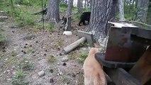 Un chat fait fuir un ours : la petite bête qui mange la grosse