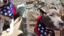 Huge Group of Dogs Sit Together in Red White and Blue Costumes by Pool