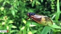 This Fungus Turns Cicadas Into Zombies In Nightmare Scenario