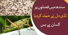 Locust invasion in Sindh causes fear of large-scale crop loss