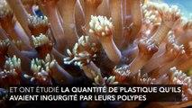 Ce corail préfère manger du plastique