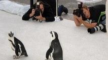 Natura e tecnologia: quando i pinguini incontrano la telecamera