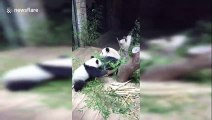 Panda cub pushes mum after falling down tree trunk in China's Guangzhou
