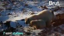 Affamés, délogés, dispersés...  Les ours blancs, grandes victimes de la fonte des glaces