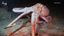Octopus Arms Make Decisions Without Any Help from Their Brain