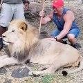 Cet homme est le meilleure ami d'un lion très imposant. Regardez !