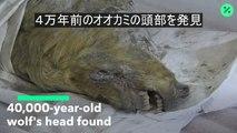 4万年前のオオカミの頭部発見