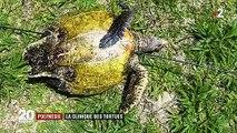 Polynésie : la clinique des tortues soigne l'espèce menacée