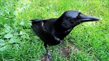 Ce corbeau est dressé comme un chien